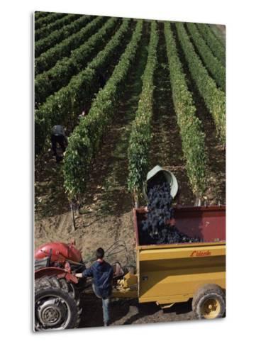 Harvesting Grapes, St. Emilion Area, Aquitaine, France-Adam Woolfitt-Metal Print