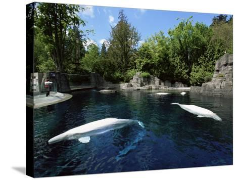 White Whale at the Aquarium, Vancouver, British Columbia, Canada-Alison Wright-Stretched Canvas Print