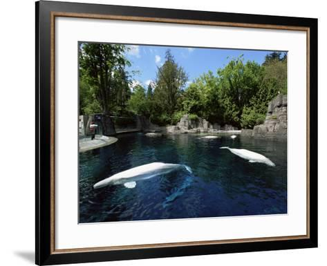 White Whale at the Aquarium, Vancouver, British Columbia, Canada-Alison Wright-Framed Art Print