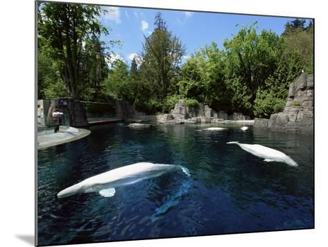 White Whale at the Aquarium, Vancouver, British Columbia, Canada-Alison Wright-Mounted Photographic Print