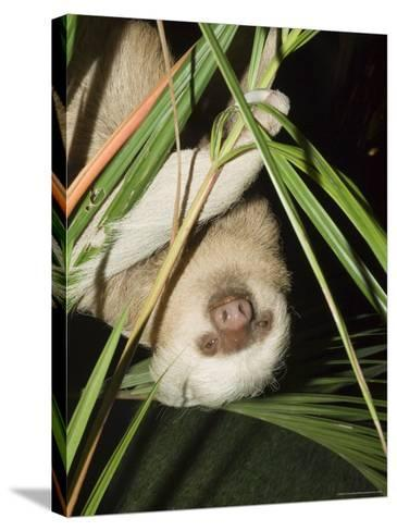 Sloth, Manuel Antonio, Costa Rica, Central America-R H Productions-Stretched Canvas Print
