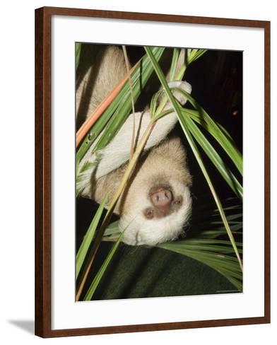 Sloth, Manuel Antonio, Costa Rica, Central America-R H Productions-Framed Art Print