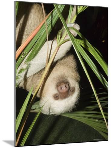 Sloth, Manuel Antonio, Costa Rica, Central America-R H Productions-Mounted Photographic Print