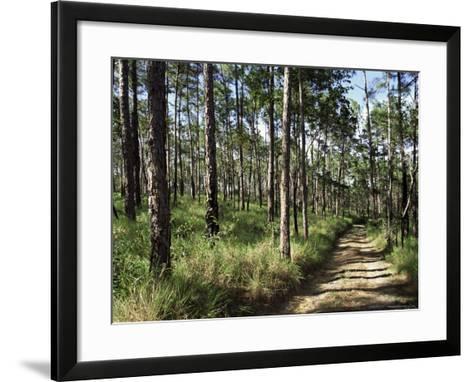 Path Through Pines, Mountain Pine Ridge, Belize, Central America-Upperhall-Framed Art Print