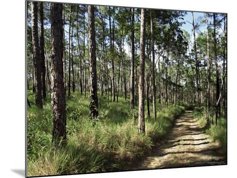 Path Through Pines, Mountain Pine Ridge, Belize, Central America-Upperhall-Mounted Photographic Print