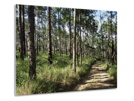 Path Through Pines, Mountain Pine Ridge, Belize, Central America-Upperhall-Metal Print