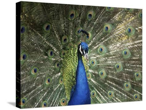 Peacock, Buchlovice, South Moravia, Czech Republic-Upperhall-Stretched Canvas Print