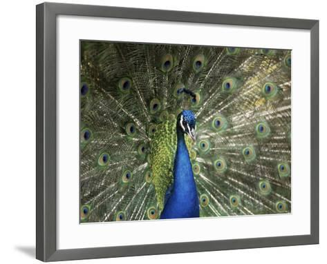 Peacock, Buchlovice, South Moravia, Czech Republic-Upperhall-Framed Art Print