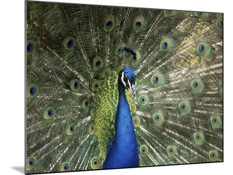 Peacock, Buchlovice, South Moravia, Czech Republic-Upperhall-Mounted Photographic Print