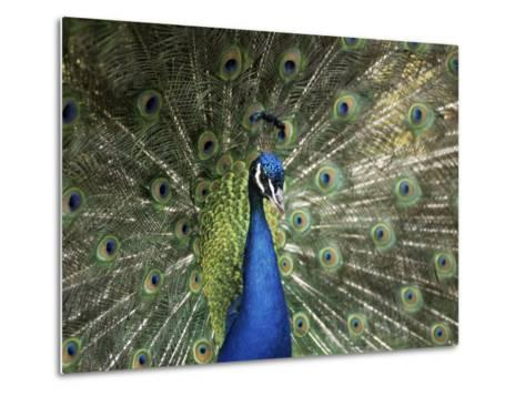 Peacock, Buchlovice, South Moravia, Czech Republic-Upperhall-Metal Print