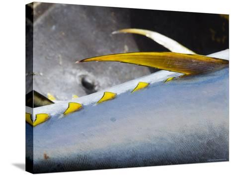 Yellow Fin Tuna on Beach at Santa Maria on the Island of Sal (Salt), Cape Verde Islands, Africa-R H Productions-Stretched Canvas Print