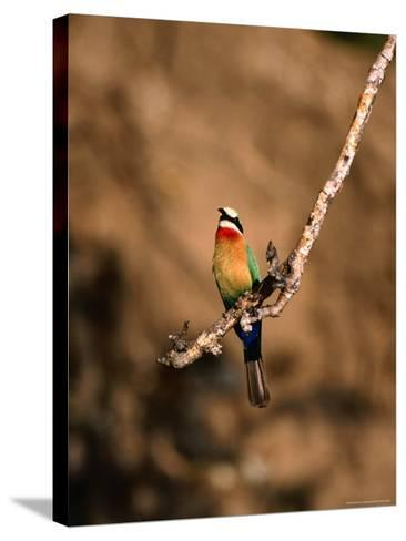 White-Fronted Bee-Eater Perched on Branch, Kafue National Park, North Western Province, Zambia-Ariadne Van Zandbergen-Stretched Canvas Print