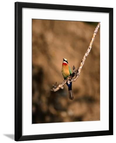 White-Fronted Bee-Eater Perched on Branch, Kafue National Park, North Western Province, Zambia-Ariadne Van Zandbergen-Framed Art Print
