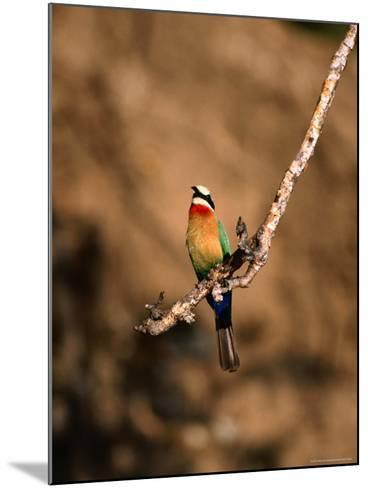White-Fronted Bee-Eater Perched on Branch, Kafue National Park, North Western Province, Zambia-Ariadne Van Zandbergen-Mounted Photographic Print