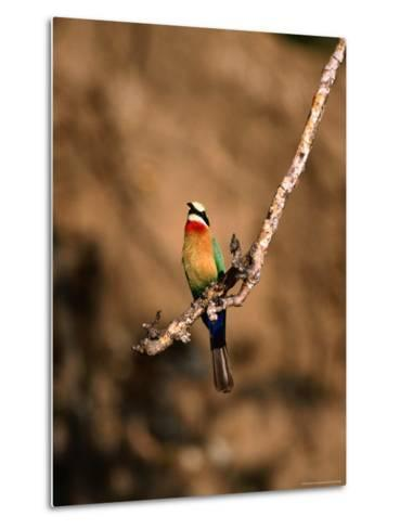 White-Fronted Bee-Eater Perched on Branch, Kafue National Park, North Western Province, Zambia-Ariadne Van Zandbergen-Metal Print