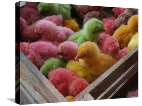 Coloured Chicks for Sale at a Market in the City Centre, Padang, West Sumatra, Indonesia-Paul Kennedy-Stretched Canvas Print