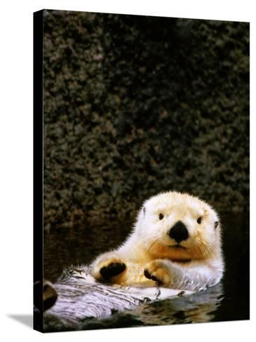 Sea Otter Floating on Its Back, Point Defiance Zoo, Tacoma, Washington-Mark Newman-Stretched Canvas Print