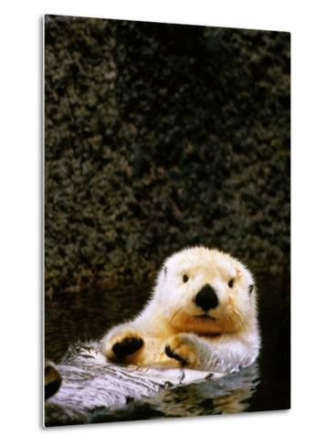 Sea Otter Floating on Its Back, Point Defiance Zoo, Tacoma, Washington-Mark Newman-Metal Print