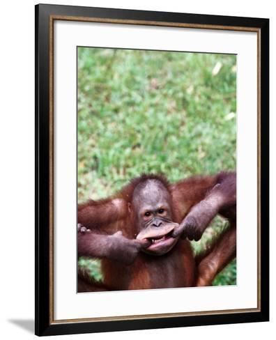 Orangutan Pulling a Face at the Matang Wildlife Centre, Kuching, Sarawak, Malaysia-John Banagan-Framed Art Print