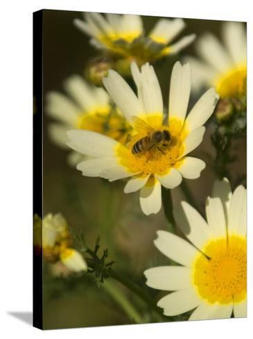 Bee Sitting on Wildflower, Naxos, Southern Aegean, Greece-Diana Mayfield-Stretched Canvas Print
