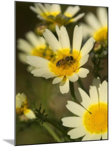 Bee Sitting on Wildflower, Naxos, Southern Aegean, Greece-Diana Mayfield-Mounted Photographic Print