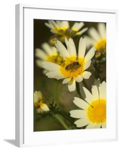 Bee Sitting on Wildflower, Naxos, Southern Aegean, Greece-Diana Mayfield-Framed Art Print