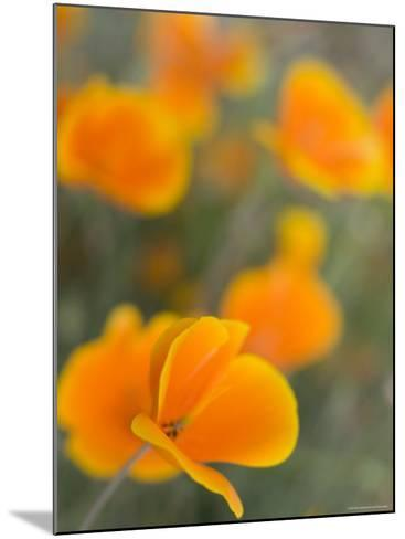 Golden Poppies on Figueroa Mountain, Los Padres National Forest, California-Brent Winebrenner-Mounted Photographic Print