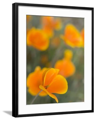 Golden Poppies on Figueroa Mountain, Los Padres National Forest, California-Brent Winebrenner-Framed Art Print