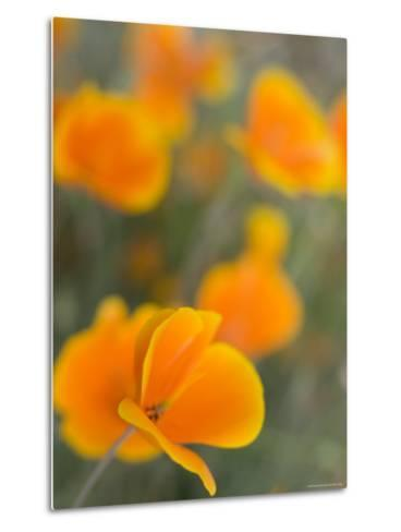 Golden Poppies on Figueroa Mountain, Los Padres National Forest, California-Brent Winebrenner-Metal Print