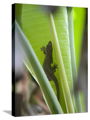 Gecko on Leaf, Cousin Island Special Reserve Near Praslin Island, Cousin Island-Holger Leue-Stretched Canvas Print