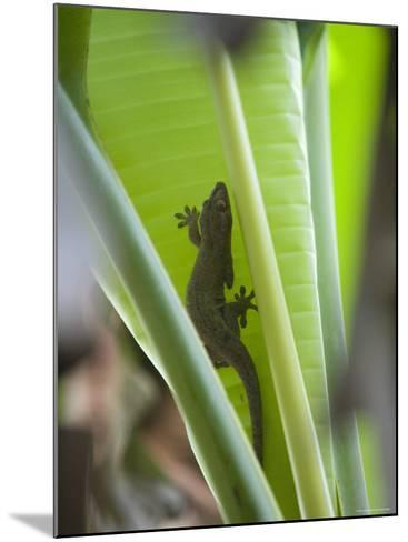 Gecko on Leaf, Cousin Island Special Reserve Near Praslin Island, Cousin Island-Holger Leue-Mounted Photographic Print