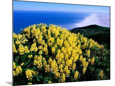 Tree Lupine at Point Reyes National Seashore, Marin County, California-John Elk III-Mounted Photographic Print