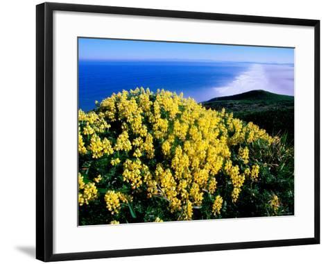 Tree Lupine at Point Reyes National Seashore, Marin County, California-John Elk III-Framed Art Print