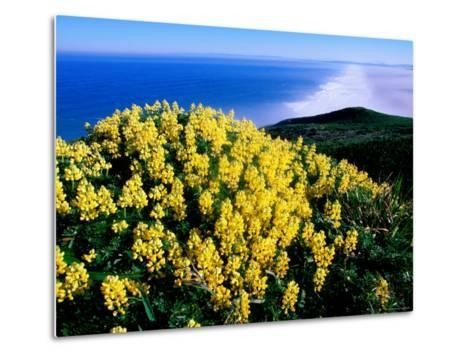 Tree Lupine at Point Reyes National Seashore, Marin County, California-John Elk III-Metal Print