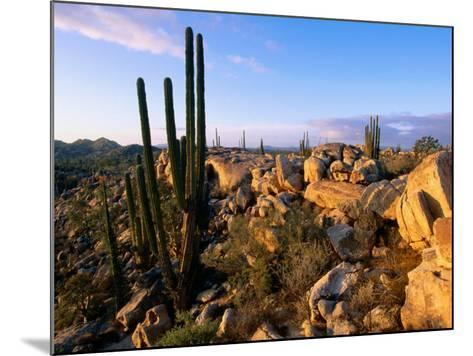 Cacti and Boulder Field, Catavina, Ensenada, Baja California, Mexico-John Elk III-Mounted Photographic Print