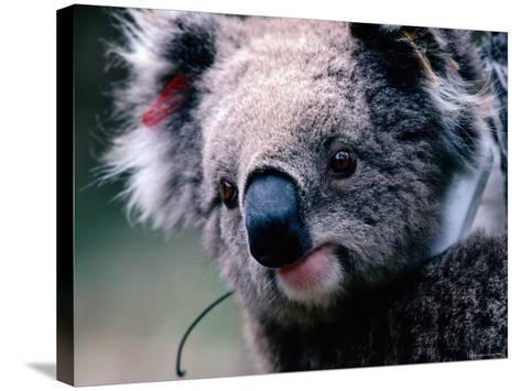 Koala with Transmitter, Phillip Island, Victoria, Australia-Michael Coyne-Stretched Canvas Print