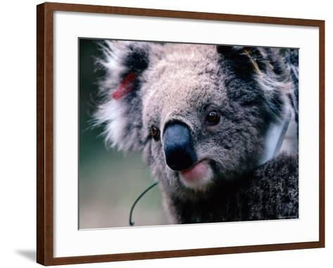 Koala with Transmitter, Phillip Island, Victoria, Australia-Michael Coyne-Framed Art Print