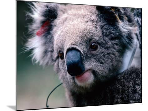 Koala with Transmitter, Phillip Island, Victoria, Australia-Michael Coyne-Mounted Photographic Print