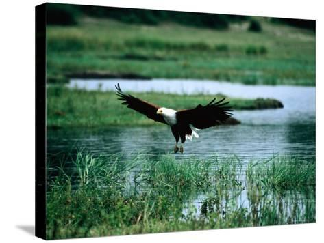 African Fish Eagle Coming in to Land, South Africa-Mark Newman-Stretched Canvas Print