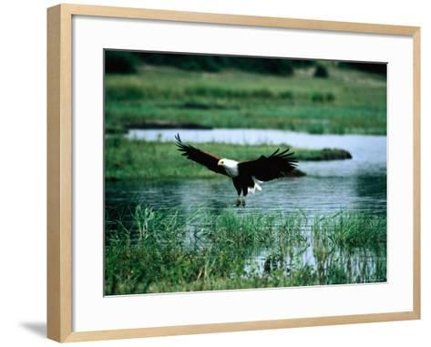 African Fish Eagle Coming in to Land, South Africa-Mark Newman-Framed Art Print
