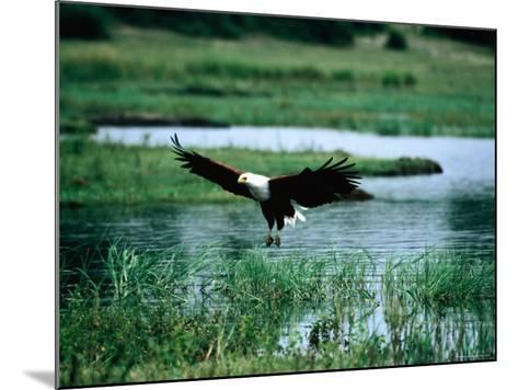 African Fish Eagle Coming in to Land, South Africa-Mark Newman-Mounted Photographic Print