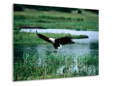 African Fish Eagle Coming in to Land, South Africa-Mark Newman-Metal Print