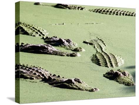 American Alligators, Everglades National Park, Florida-Mark Newman-Stretched Canvas Print