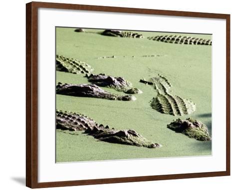 American Alligators, Everglades National Park, Florida-Mark Newman-Framed Art Print