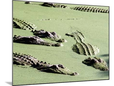 American Alligators, Everglades National Park, Florida-Mark Newman-Mounted Photographic Print