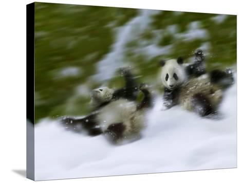 Two Giant Panda Cubs Rolling on Snow, Wolong Ziran Baohuqu, Sichuan, China-Keren Su-Stretched Canvas Print