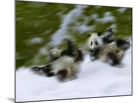 Two Giant Panda Cubs Rolling on Snow, Wolong Ziran Baohuqu, Sichuan, China-Keren Su-Mounted Photographic Print