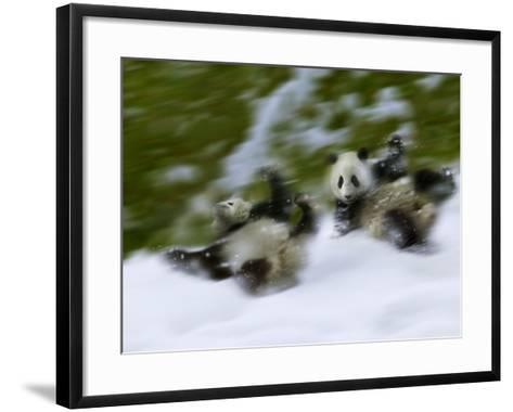 Two Giant Panda Cubs Rolling on Snow, Wolong Ziran Baohuqu, Sichuan, China-Keren Su-Framed Art Print