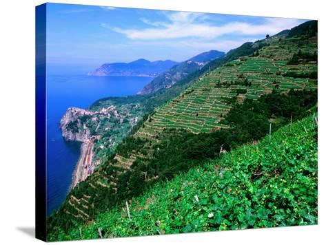 Vineyards from Trail Above Corniglia, Cinque Terre, Liguria, Italy-John Elk III-Stretched Canvas Print