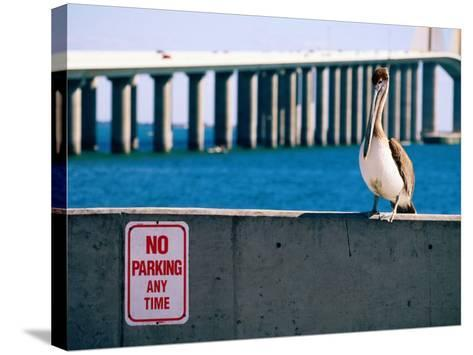 Brown Pelican in Front of Sunshine Skyway Bridge, Tampa Bay, Tampa, Florida-David Tomlinson-Stretched Canvas Print